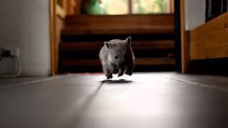 Baby Wombat Runs
