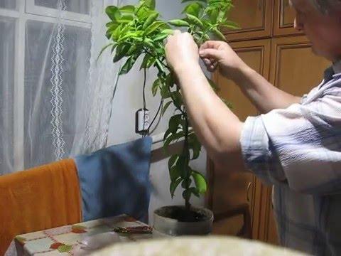 Саженцы цитруса