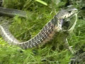 Frog rescues another frog from snake