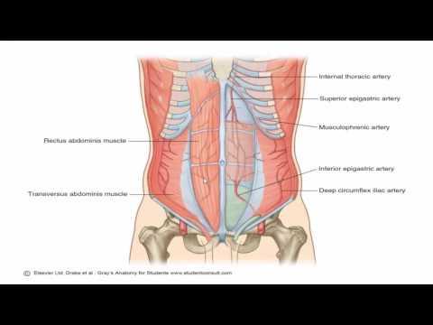 Anatomy 1   C2 - L2   Anterior abdominal wall