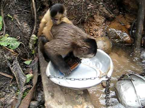 Monkey washing dishes