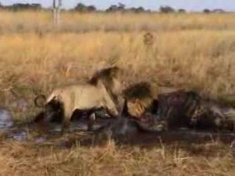 Lion Fight in Botswana