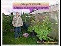 Огородничество. Выпуск #38 - Обзор ОГУРЦОВ Выращенных в Тёплых Бочках. Аляска США
