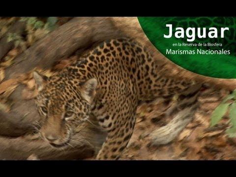 jaguar en la Reserva de la Biosfera Marismas Nacionales Nayarit