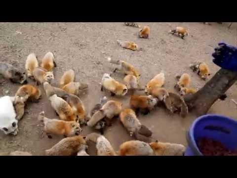 キツネがゲシュタルト崩壊してきた。。。U´エ`U Hmmm...Swarms of foxes with extremely fluffy...