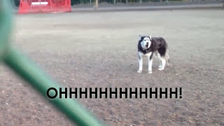 別以為只有人類的小孩不願離開公園,看看這隻哈奇狗,這哭聲...