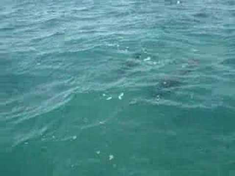 Wild Dolphins in Punta Allen