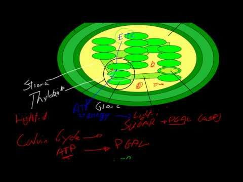 [Biology] Photosynthesis: Light-dependent and independent reaction