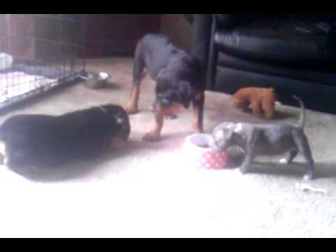 ROTTWEILERS AND BLUENOSE PITBULL FIGHTING