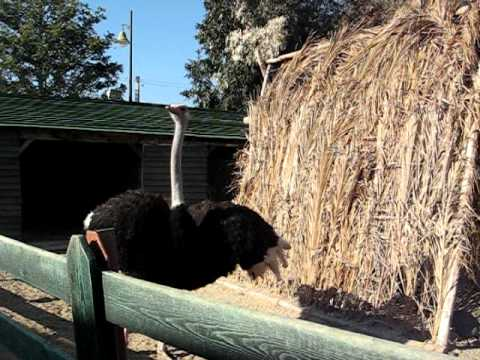 Yasmine Hammamet, Carthageland, Mini Zoo   Ostriches