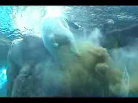 Polar Bear Poops Underwater (Original)