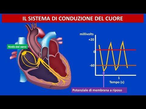 Anatomia e fisiologia cardiovascolare il sistema di conduzione del cuore
