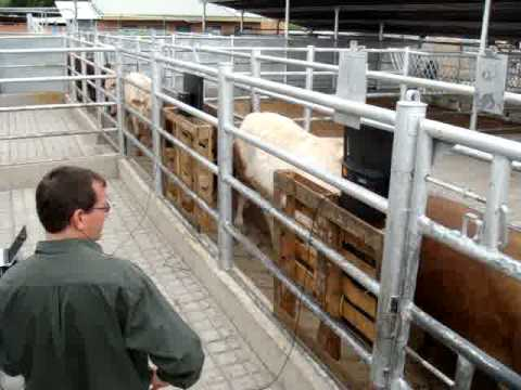 Cattle RFID I-Tags being read through a race at speed (100% captured) - 2
