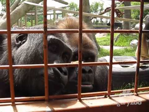 Curious Gorillas Watch Caterpillar