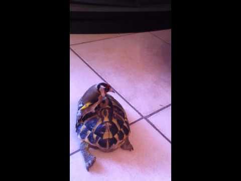 chardonneret sur tortue