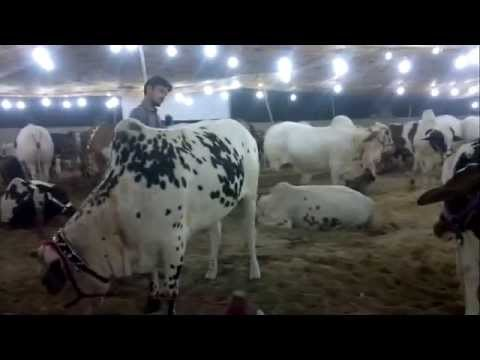 Big Cow Picture In Karachi 2012