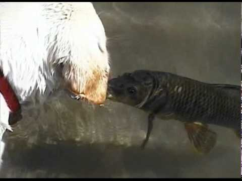 Dog and Fish Kiss and Swim Together