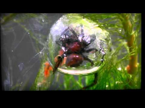 Under water spider