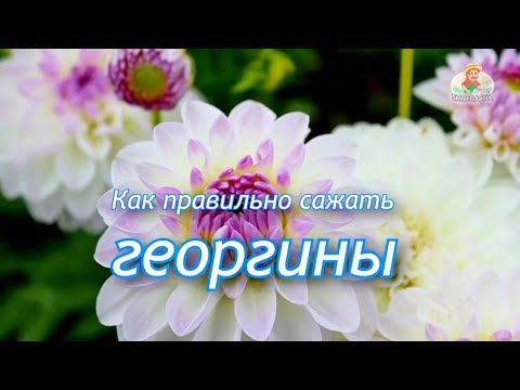 Луковицы георгин