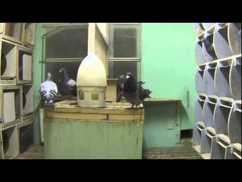 Karmienie gołębi - część 2 (w gołębniku Zbigniewa Oleksiaka)
