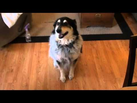 Dog Fakes being hurt for an early Dinner