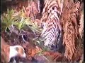 Big wild boar charges the hunter