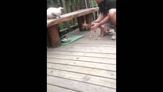 [Baby Deer Meeting The Raccoon] Video