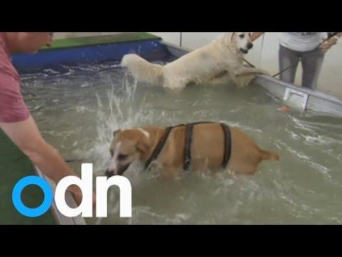 شاهد بالفيديو : افتتاح مسبح خاص بالكلاب في ألمانيا