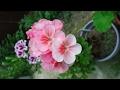 Формировка пеларгонии (герани) для обильного цветения. Шаг первый.