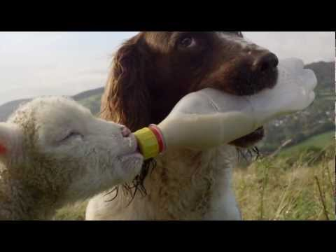 Secret Life of Dogs: Jess the Springer Spaniel feeds an orphaned lamb with a bottle.
