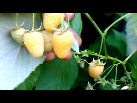 Купить желтоплодную малину