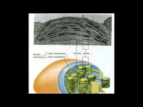 Plant Biology - Chloroplasts