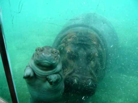 Mały hipopotam uczy się pływać