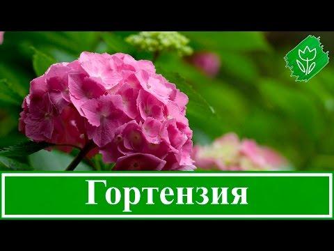Гортензия купить саженцы в Москве