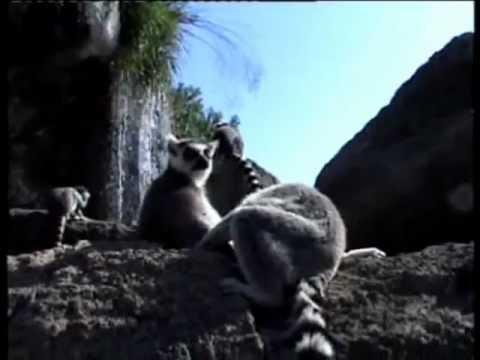 Descubre los lémures de cola anillada en Madagascar