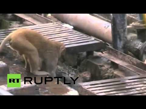 True Friendship: Monkey rescues electrocuted buddy on train tracks