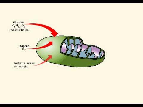 BIOLOGIA   CELULA   RESPIRACION CELULAR