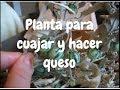PLANTA TROMPILLO PARA CUAJAR Y HACER QUESO - lorenalara144