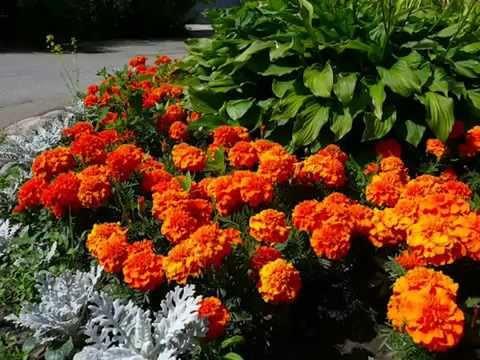 Осенние работы  саду в октябре. Не спешите выбрасывать бархатцы! - UCG_iQ60hXx6uzlJvqkY881g