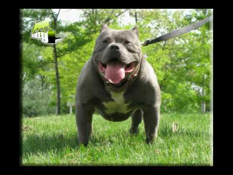BULLY MAX CANINE MUSCLE BUILDING SUPPLEMENT AND VITAMIN FOR PITBULLS AND BULLDOGS