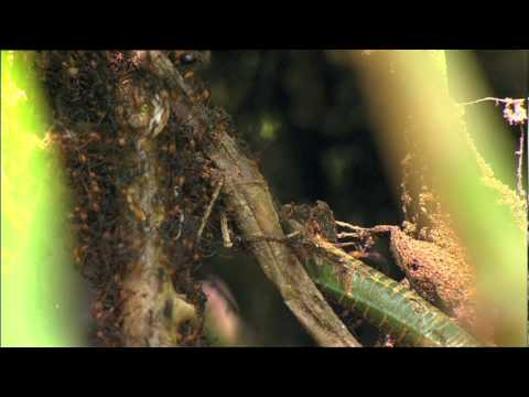 SCIENCE SCREEN REPORT FOR KIDS - Amazon Army Ants:  Arthropods on the March - Volume 20 Issue 2