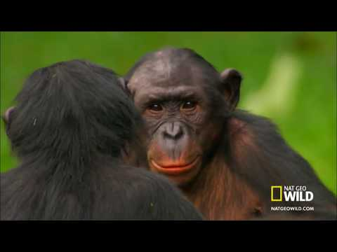 Sesso fra scimpanzè - Chimpanzees who have sex - Funny -