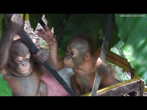 Awww! These orangutan orphans are besties now!