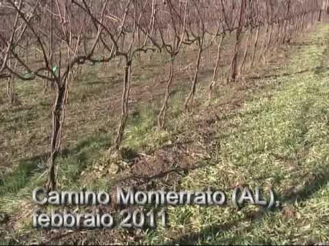 cover crop di orzo in un vigneto di Camino Monferrato (AL)