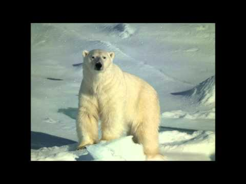 Polar Bear on Greenland Sea Ice