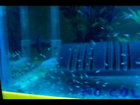 Reproducción y cría del Rey Midas (Amphilophus citrinellus)