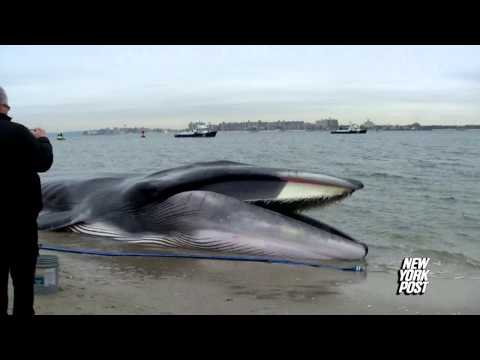 Beached whale found at Breezy Point, New York - New York Post