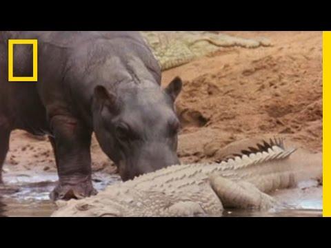 Hippo Licks Croc