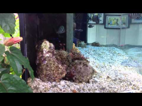 Sterling's 240gal Hawaiian saltwater aquarium 7/29/12