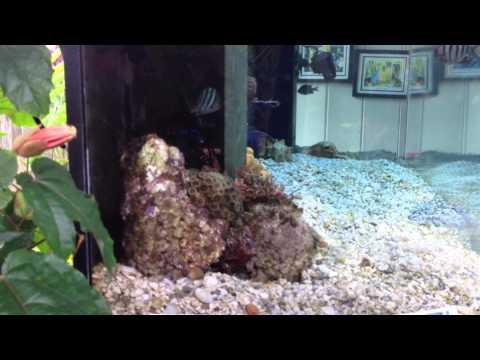Sterling's 240gal Hawaiian saltwater aquarium 7/29/12